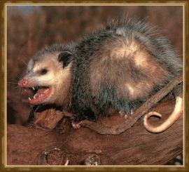 Dirty Opossum&#39;s Photo